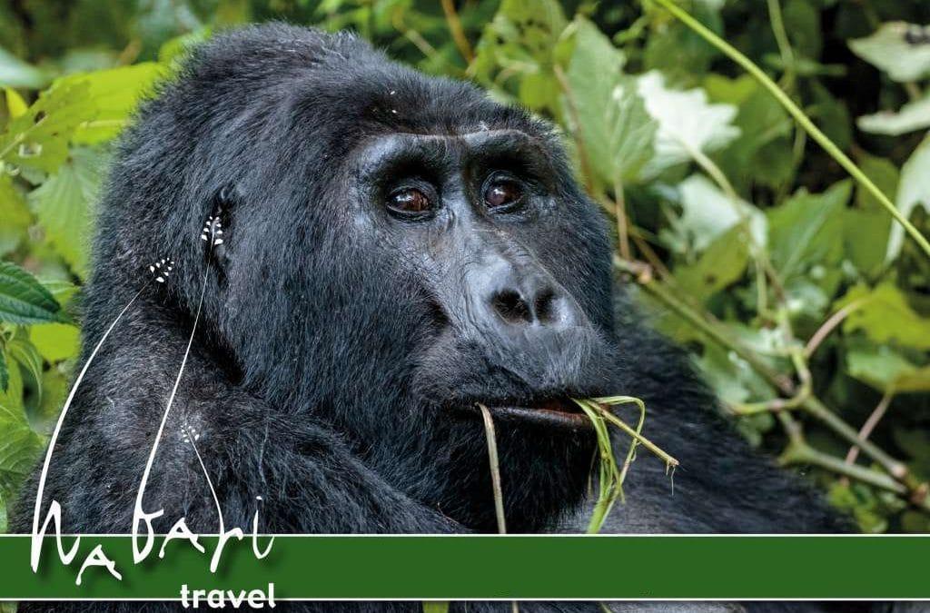 Gratis Gorilla Permit Aktion!