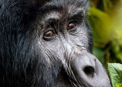 Prüfender Gorilla-Blick