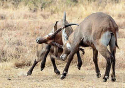 Kämpfende Defassa-Wasserböcke im Queen Elizabeth Nationalpark