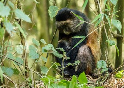 """Die """"Golden Monkeys"""" leben im Mgahinga Gorilla Nationalpark"""