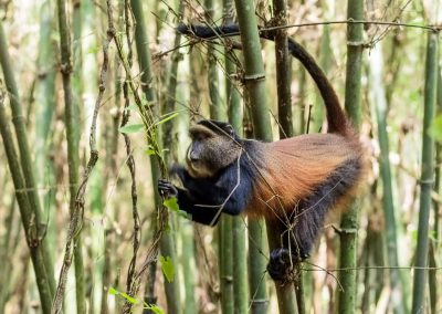 Die Goldmeerkatzen leben im Bambuswald des Mgahinga Gorilla Nationalparks