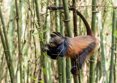 Die Golden Monkeys (Goldmeerkatzen) leben im Bambuswald des Mgahinga Gorilla Nationalparks