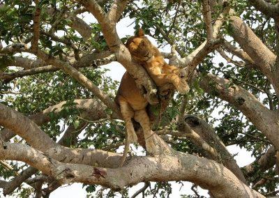 Baumliegender Löwe in der Ishasha Region