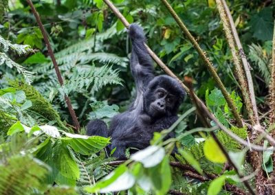 Berggorillakind im Bwindi Impenetrable Nationalpark