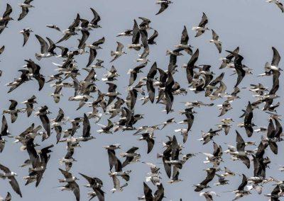 Weißbart- und Weißflügelseeschwalben ziehen entlang des Viktoriasees