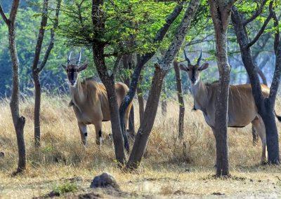 Das Eland ist eine der größten Antilopenarten der Welt