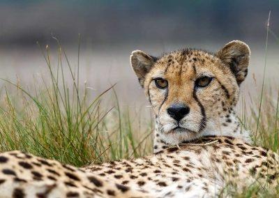 Aufmerksamer Gepard in der Serengeti