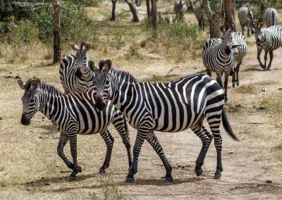 Steppenzebras im Lake Mburo Nationalpark