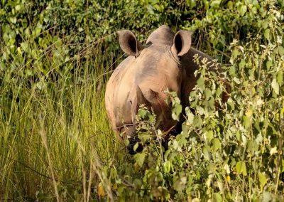 Breitmaulnashörner im ZIWA Nashorn Schutzgebiet