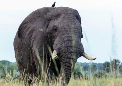Savannenelephant in Murchison Falls Nationalpark