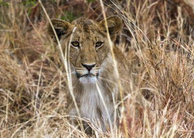 Natürlich gibt es auch Löwen im Kidepo Valley Nationalpark