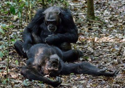 Schimpansen im Kibale Forest