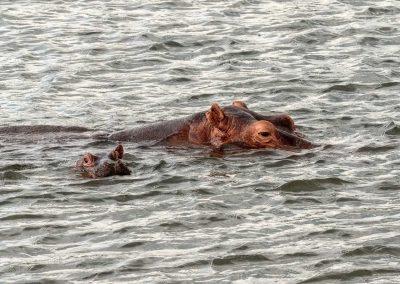 Auf der Bootsfahrt zu den Nilfällen begegnen Ihnen zahlreiche Flußpferde