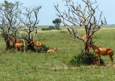 Lelwel-Kuhantilope suchen ein schattiges Plätzche
