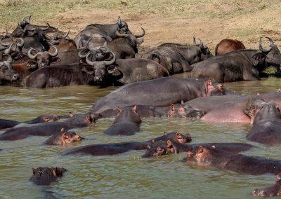 Büffel und Flusspferde am Kazinga Kanal