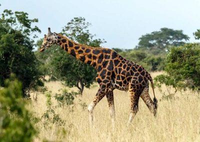 Je dunkler die Fellzeichnung der Rothschild-Giraffe, desto älter das Tier