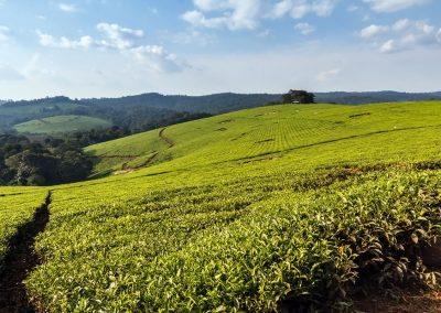 Große Teeplantagen am Rand des Kibale Forest