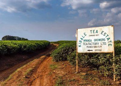 Rund im Kibale erstrecken sich riesige Teeplantagen