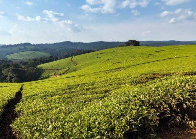 Teeplantagen prägen die Region im den Kibale Forest