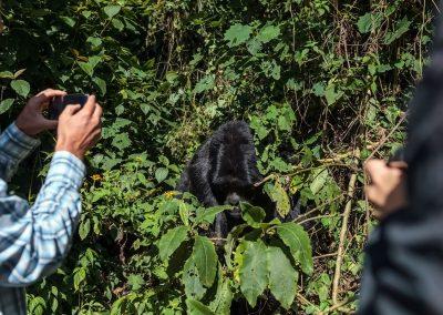 """Berggorillas halten sich nicht immer an die """"7-Meter-Regel"""""""