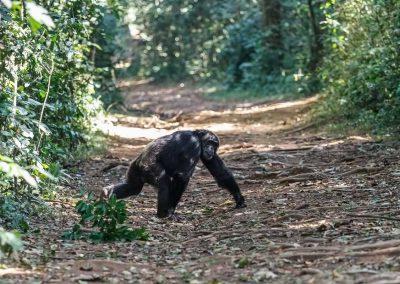 Schimpanse im Kibale Forest