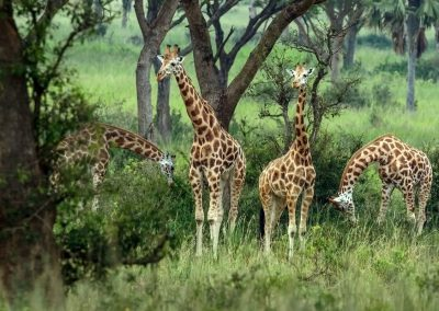 Rothschild-Giraffen im Murchison Falls Nationalpark