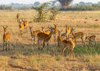 Uganda Kobs im goldenen Licht