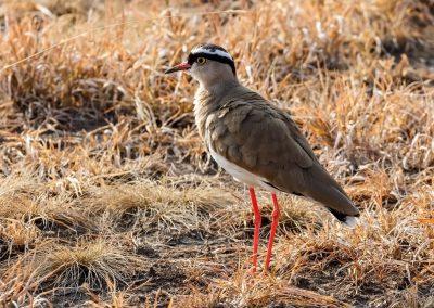 Der Kronenkiebitz gehört zu den vielen Vogelarten, die Sie im Queen Elizabeth Nationalpark sehen können