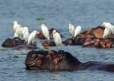 Hippos und Kuhreiher sieht man in großer Zahl