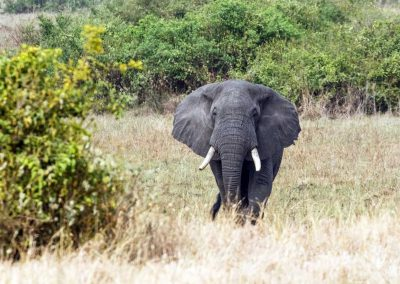 Ein Savannenelefant zieht durch den Queen Elizabeth Nationalpark