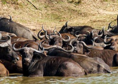 Afrikanische Büffel erfrischen sich im Kazinga Kanal
