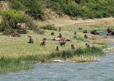 Paviane entspannen sich am Ufer des Kazinga Kanales