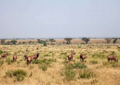 Topis im südlichen Teil des Queen Elizabeth Nationalparks