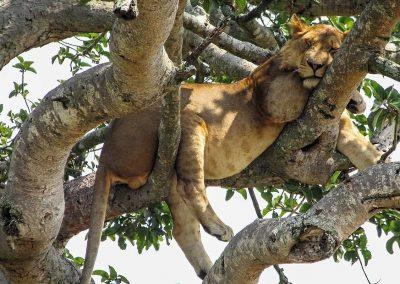 Baumkletternder Löwe im Ishasha Sektor