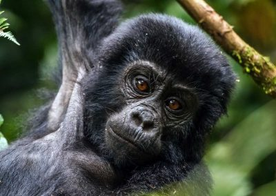 uberblick 1 gorilla trekking in bwindi impenetrable nationalpark quer durch ostafrika